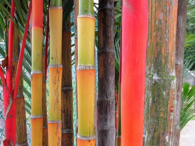Colorful bamboo at MacRitchie Reservoir in Singapore