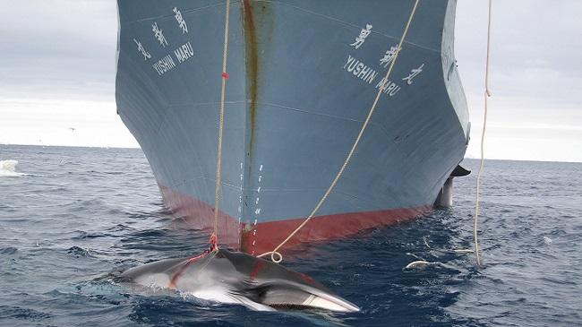 Οι Ιάπωνες επιστρέφουν στο κυνήγι φαλαινών για εμπορικούς σκοπούς