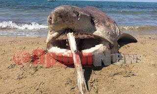 Καρχαρία «σαπουνά» ξέβρασε η θάλασσα στην παραλία Κουνουπελίου