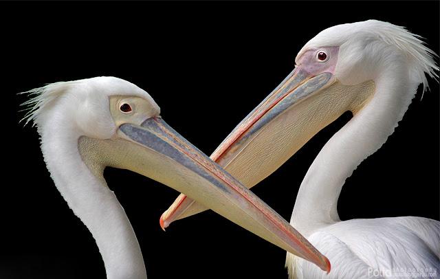 Burung Undan Paya Indah Wetlands