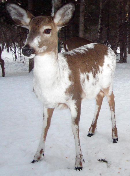 reindeer antler asymmetry why
