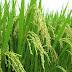 Dorong Produksi Pangan, Pemerintah @Jokowi akan Bagikan Sembilan Juta Hektar Lahan untuk Rakyat