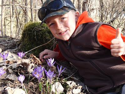 Krokusy 2018, krokusy na Orawie, grzyby wiosenne, grzyby w kwietniu, czarki z krokusami