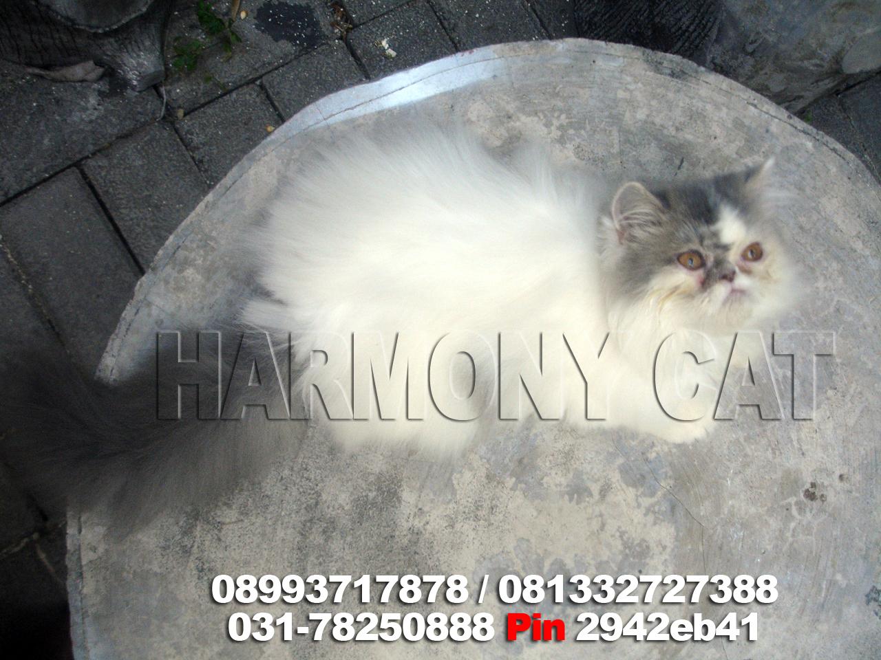 Harga Kucing Caracal Harga Kucing Munchkin Jakarta