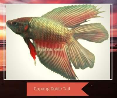 Jenis Ikan Cupang Aduan dan Ikan Hias Termahal