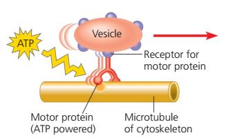 Mikrotubulus, microtubules, Sitoskeleton