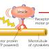 Sitoskeleton (cytoskeleton)