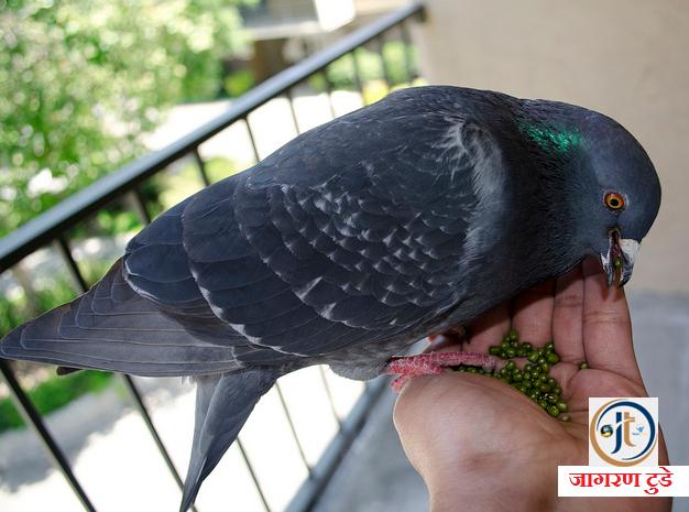 कबूतर को दाना खिलाने से पुण्य प्राप्ति