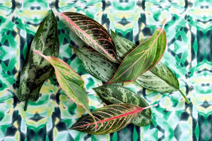 Plantas De Interior Resistentes Aglaonemas - Plantas-de-interior-resistentes