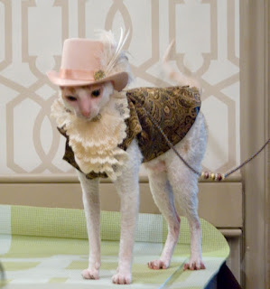 Brighton the Cornish Rex in Brocade Vest and Top Hat