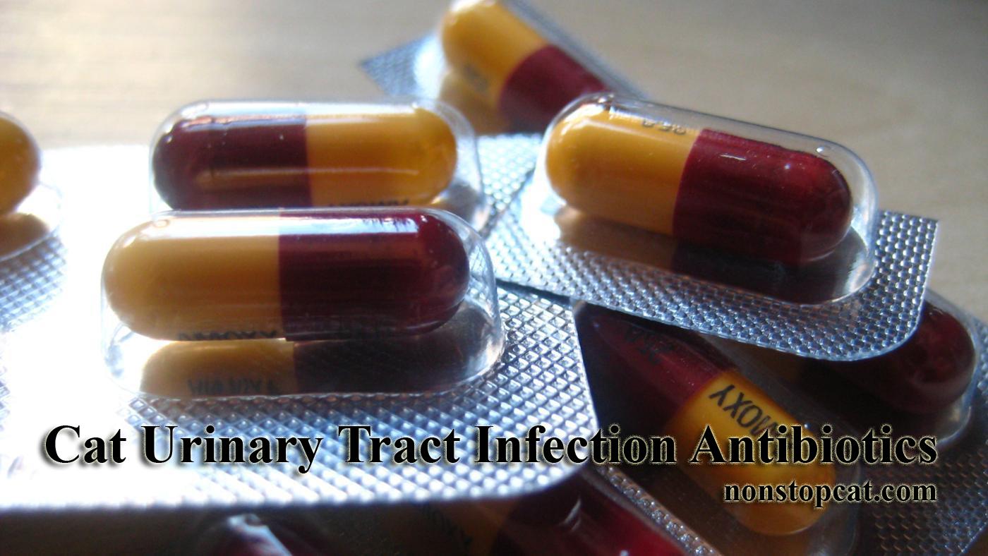 Cat Urinary Tract Infection Antibiotics