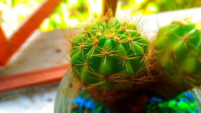 another sample photo using the miniature mode in Asus Zenfone Selfie cactus pricklers succulent