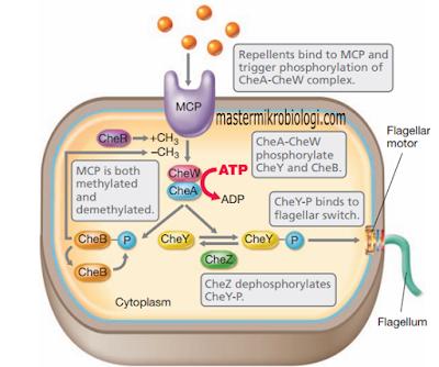 transduksi sinyal flagela bakteri