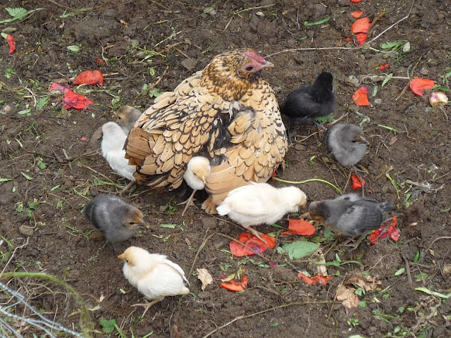 Hen and baby chicks organic and free-range