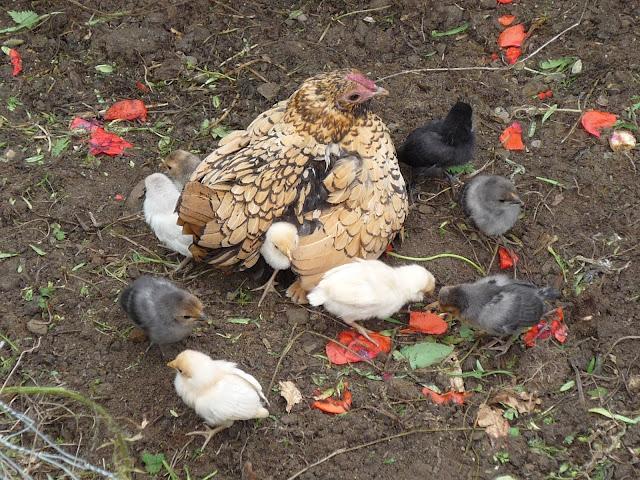 Hen and baby chicks organic and free-range