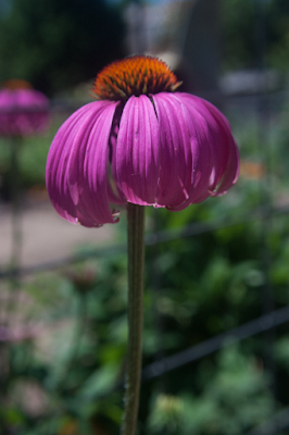 Photograph of echinacea