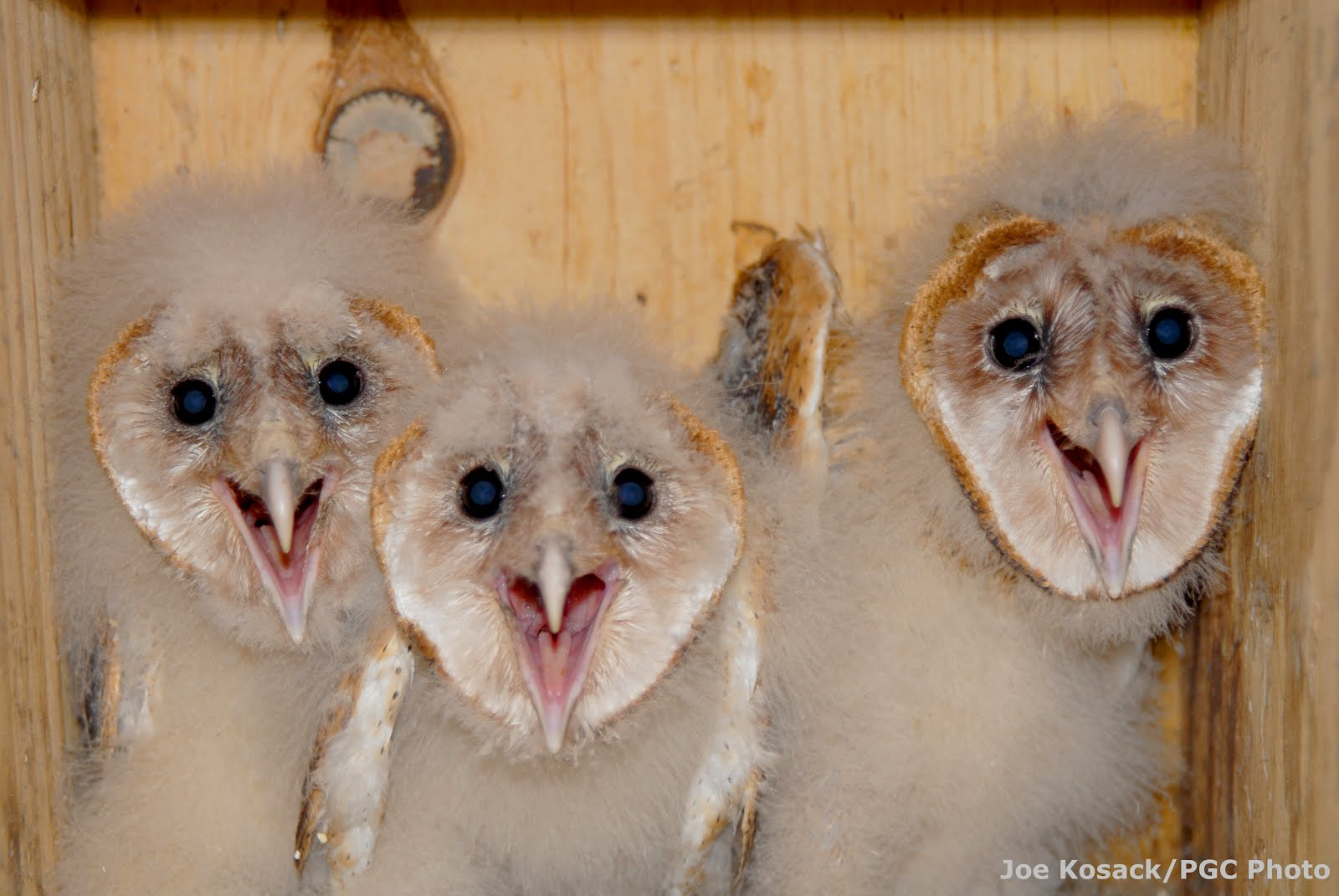 Game Commission Unveils Barn Owl Nest Web Cam