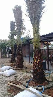 pusat petani dan membudidaya pohon palem kurma terbbesar diindonesia