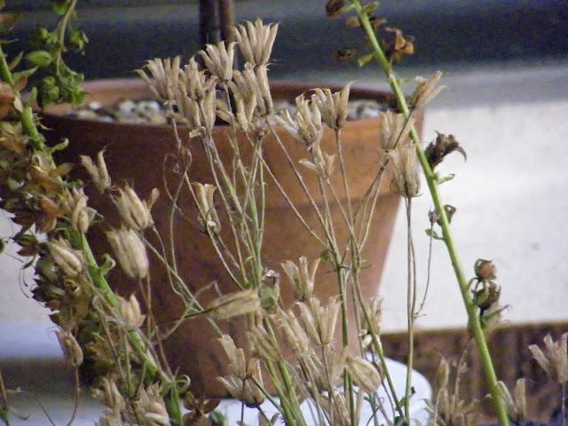 purple columbine seed heads; foxglove seed heads in front of terra-cotta pot