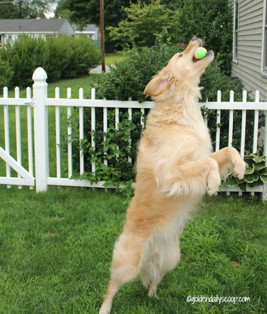 golden retriever fetching a ball