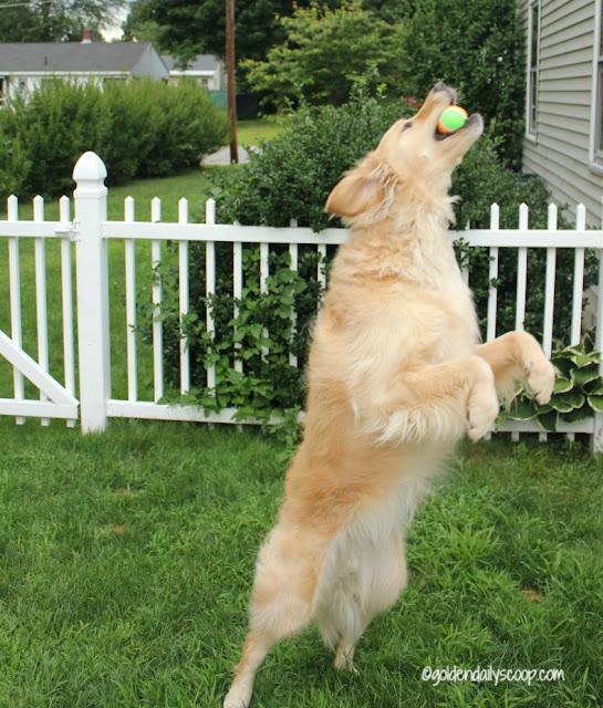 golden retriever fetching a ball