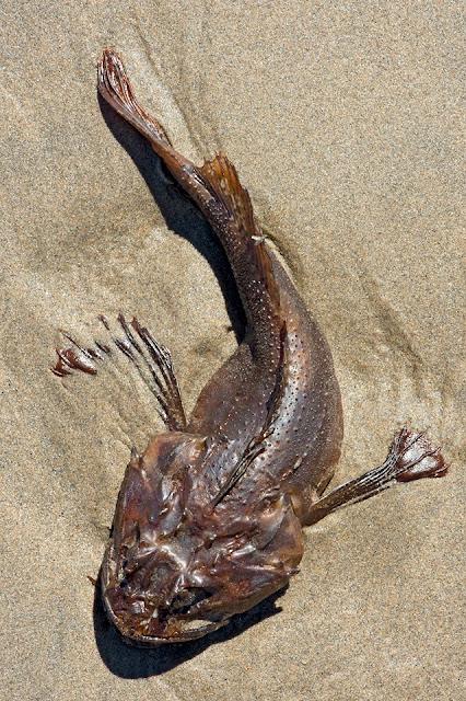 Nova Scotia; Sculpin; Hirtle's Beach; Fish