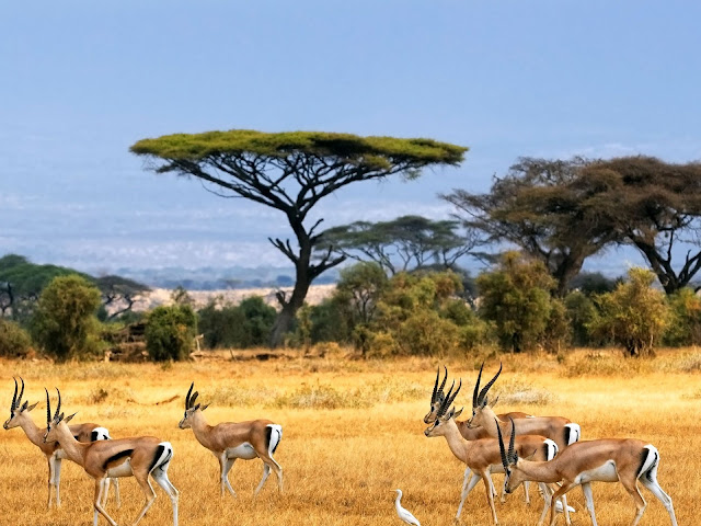 Impala nella Savana