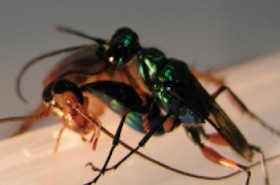 Jewel wasp stings cockroach in the head to start the parasitic cycle