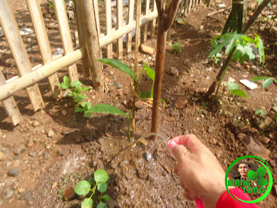 Melakukan penyiraman tanaman bibit nangka