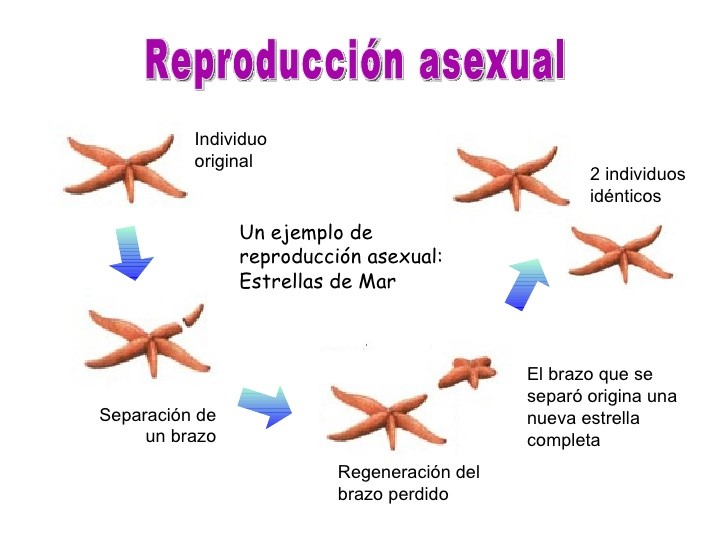 Reproducion asexual wikipedia