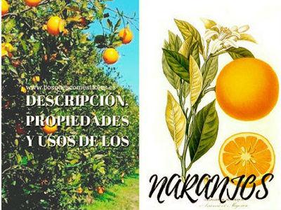 Naranjo o Naranjero, Citrus sinensis, árbol de la familia de las rutáceas.