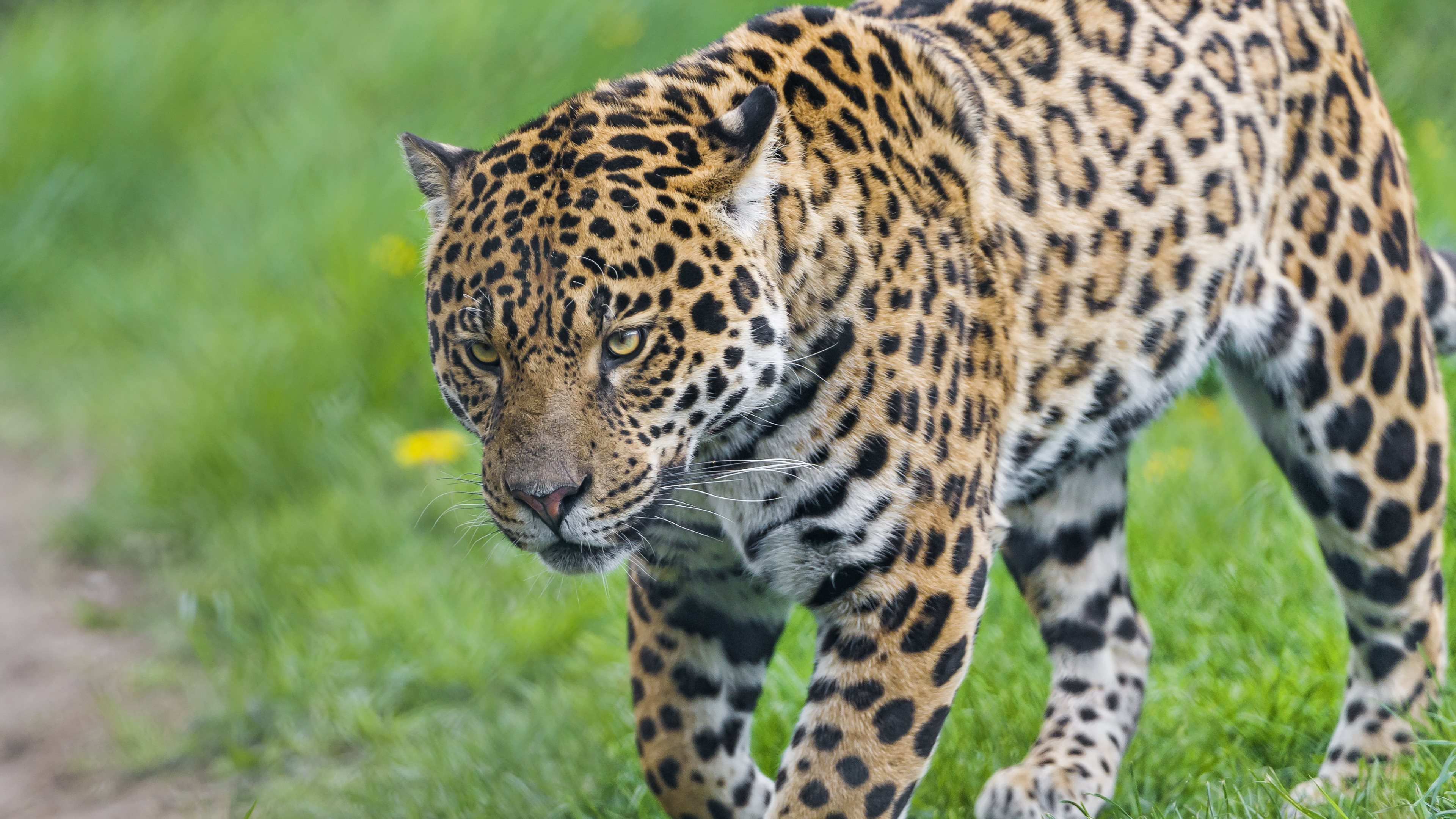 jaguar the animals wallpapers in hd 4k and wide sizes