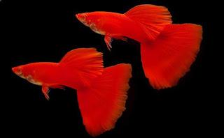 5 Daftar Ikan Hias Yang dapat Di Pelihara Di Akuarium Kecil