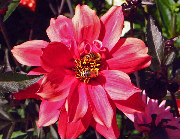red dahlia with two bees