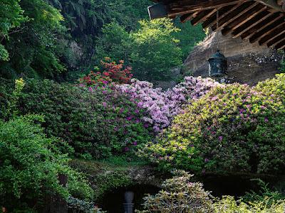 Tsutsuji (Rhododendron) flowes: Kaizo-ji