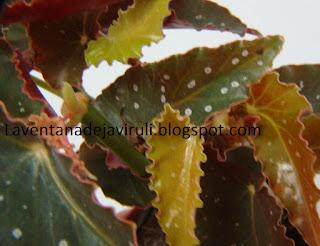 hojas-begonia-pinafore