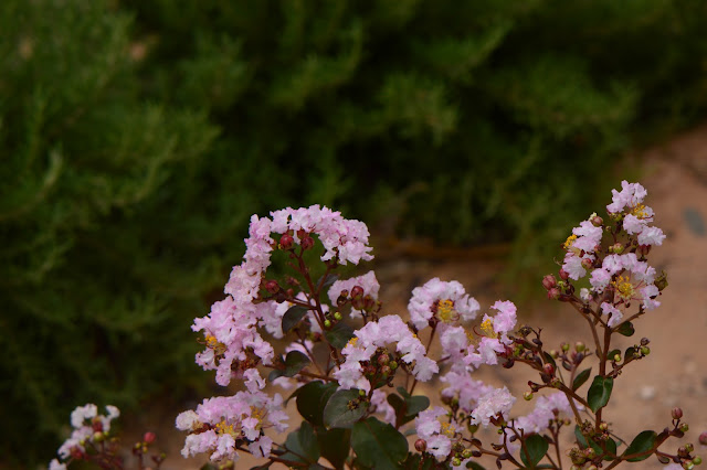 "Lagerstroemia, ""Rhapsody in Pink"", rosemary, Tuscan Blue"