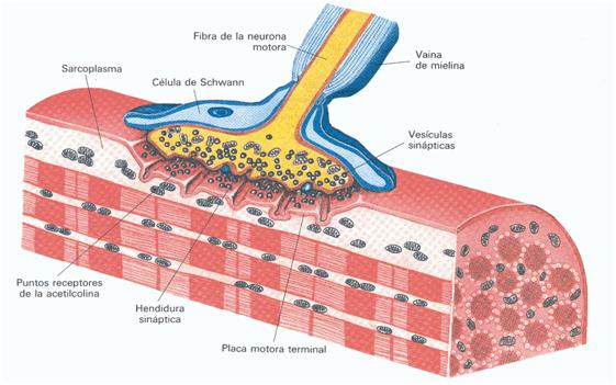 fibras amielínicas e mielínicas