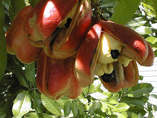 Ackee Fruit Pictures