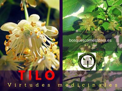 Tilo sirve como sedante y apaciguador. La flor del tilo merma la acidez del estómago...