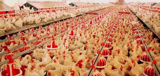 مشروع تربية دجاج برأس مال صغير 2020 بالتفصيل Chicken