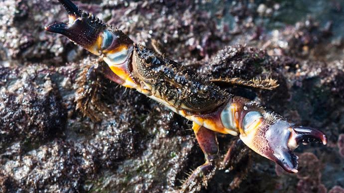 Wallpaper: Crab on Zumaia beaches