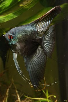 Angelfish Types | Angelfish Water Quality Angelfish Types