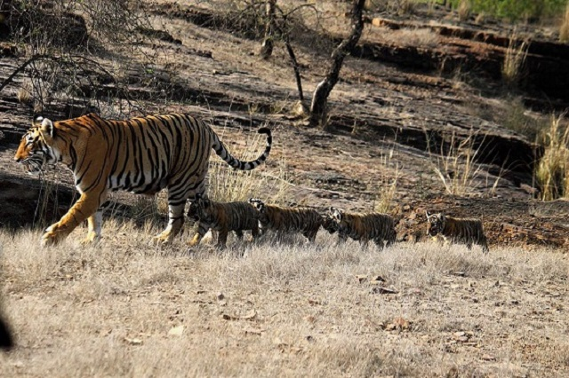 Enjoy Tiger Safari in The Ranthambore National Park.