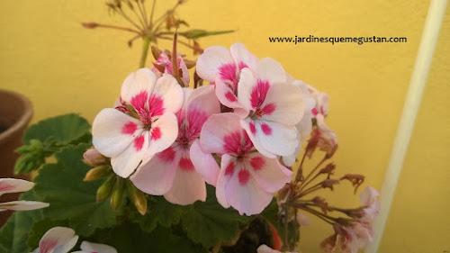 Geranio y gitanilla (Pelargonium spp.)