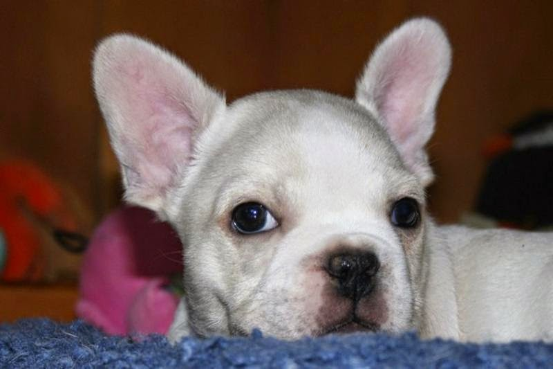 White French Bulldog Puppies with Big Ears ~ Picture of Puppies