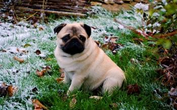 Wallpaper: Dog breed Pug