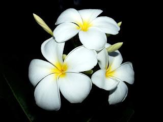 jenis bunga kamboja