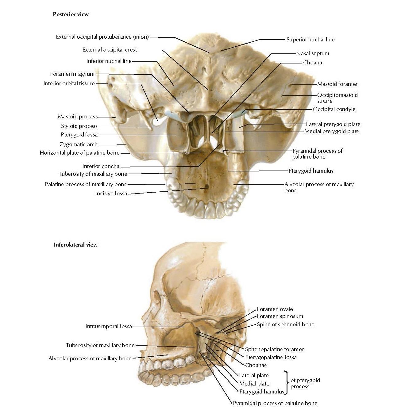 Pterygoid Fossae Anatomy