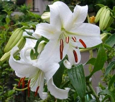 Daun dan umbi bunga lili mengandung alkaloida, saponin, dan poliferol. Di samping itu, umbinya juga mengandung flanoida